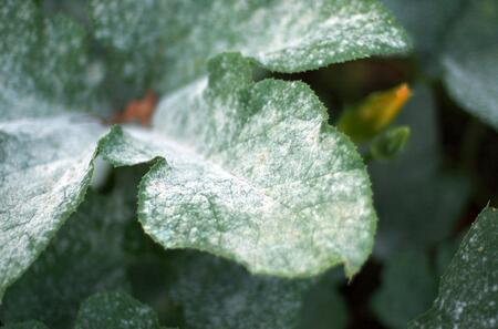 20141105_PowderyMildew