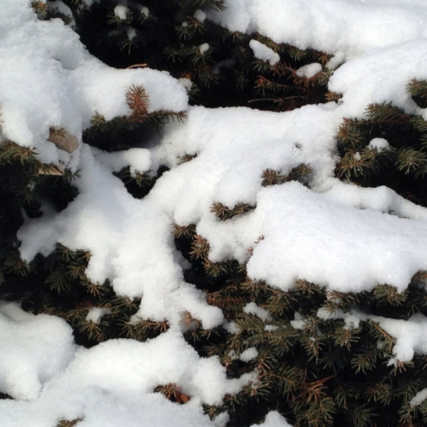 Learn how to winterize evergeens