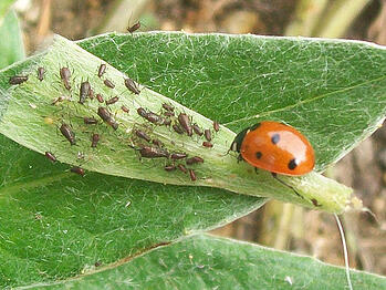 aphid1
