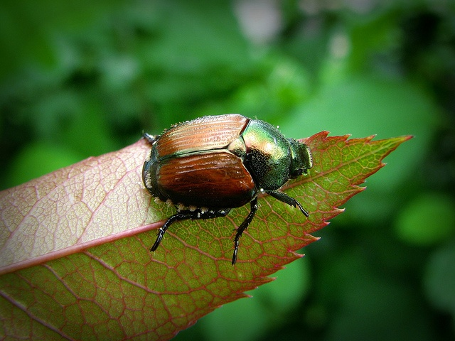 Grubs are the immature form of various beetles, including Japanese beetles