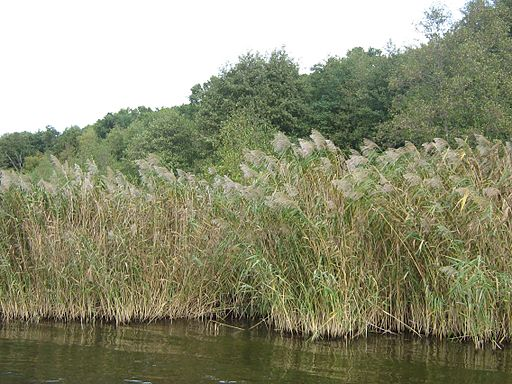 phragmites are an invasive water-loving weed