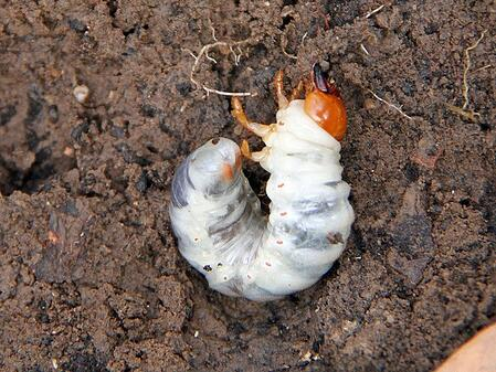 prevent grub damage and stop young grubs before they populate your lawn
