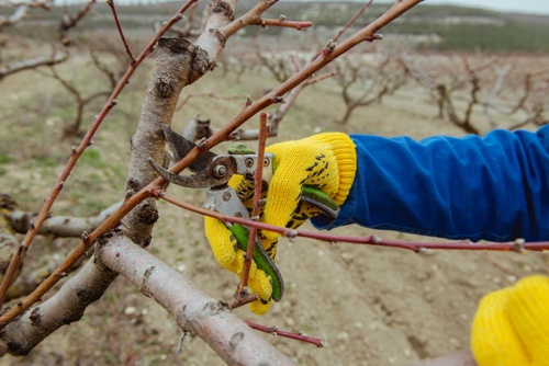 Dormant Pruning During Winter