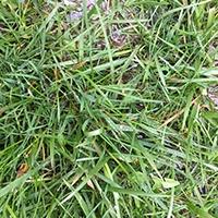 Lawn-crabgrass4.jpg