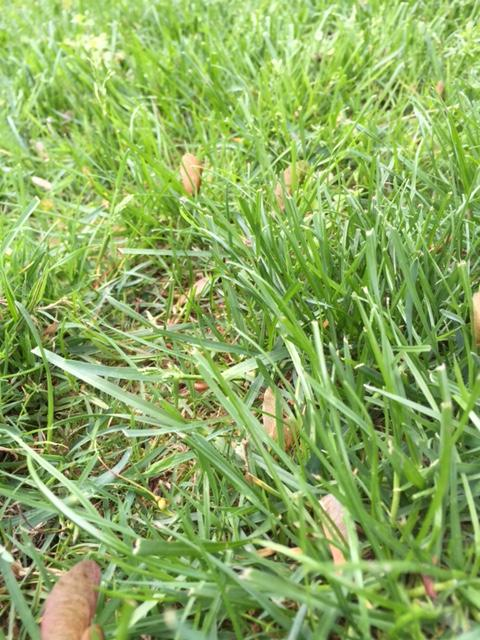Synthetic fertilizers are the standard product traditionally used in commercial lawn care programs