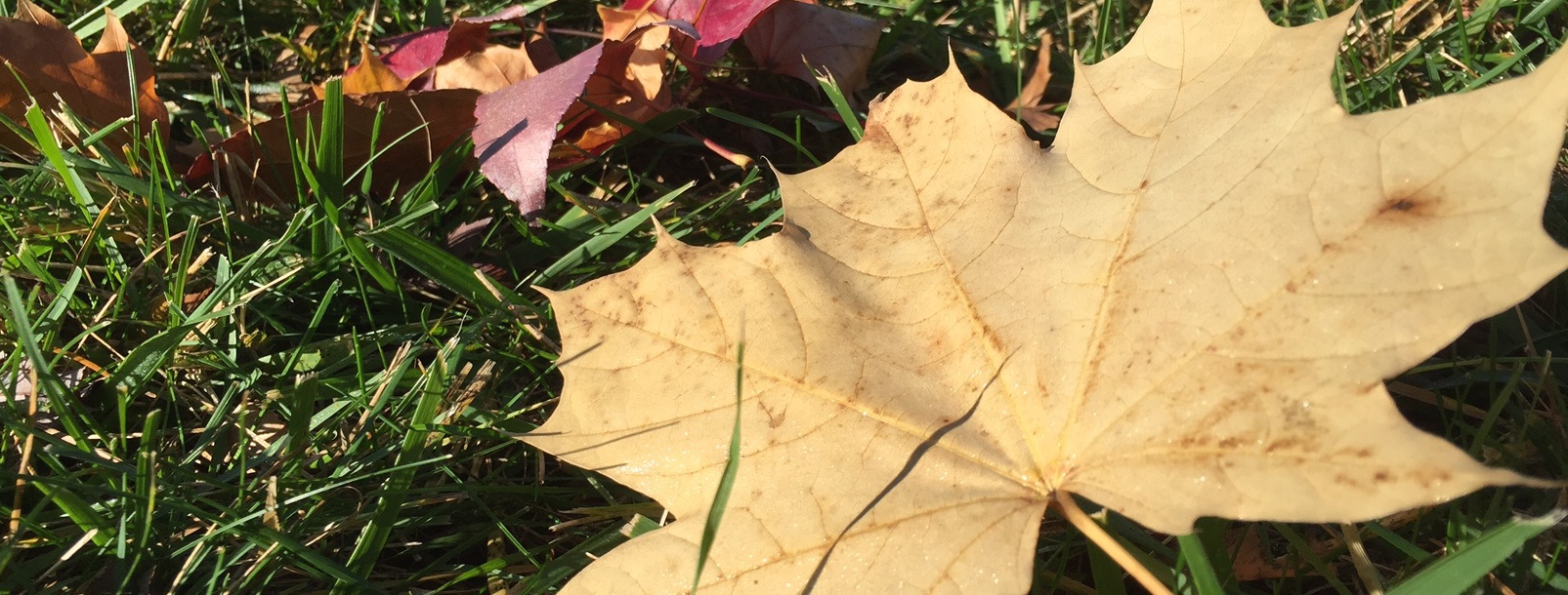 allowing leaves to sit on the lawn all winter could exacerbate snow mold