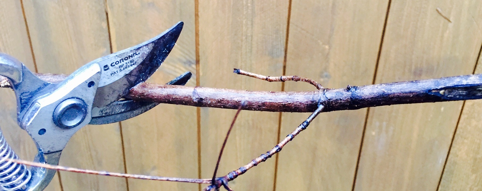 reshaping overgrown plants is one of the benefits of dormant pruning in Northeast Ohio
