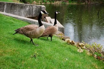 geese 3.jpg