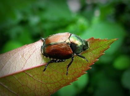 Japanese Beetle on Leaf in Ohio
