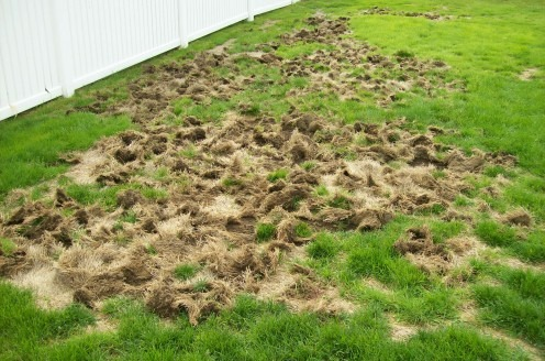 Grub Lawn Damage Potentially Worsened by Animals