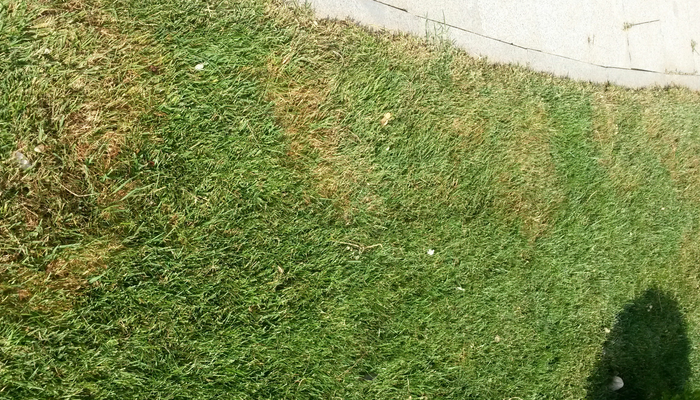 Brown patch is a common lawn disease in Northeast Ohio after heavy rainfall