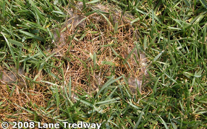 Pythium Blight is a common lawn disease in Northeast Ohio after heavy rainfall