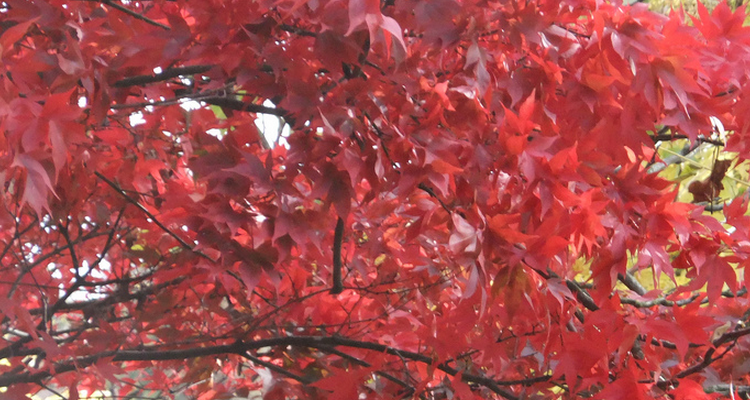plant maple trees this fall in commercial landscapes in Northeast Ohio