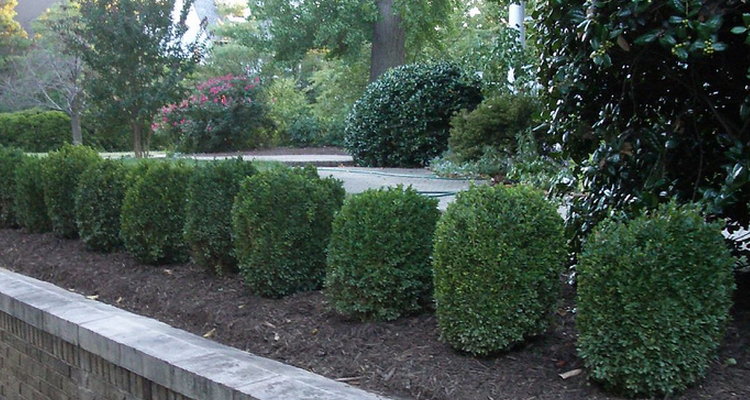 plant boxwood this fall in commercial landscapes in Northeast Ohio