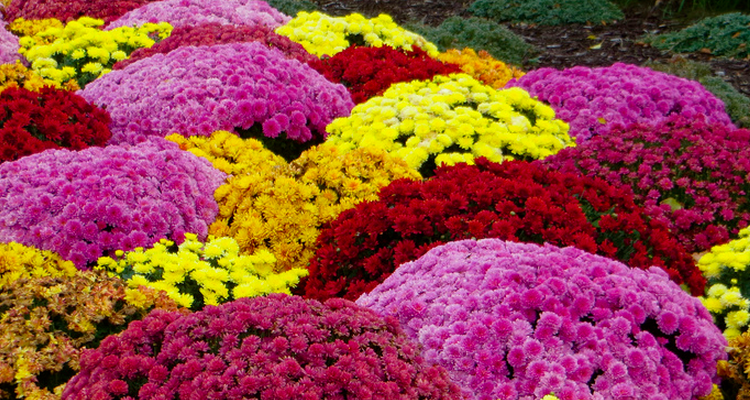 plant mums and pansies this fall in commercial landscapes in Northeast Ohio