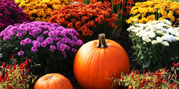 color_of_autumn_mums_pumpkins