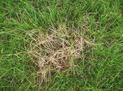 dollar spot can be a common grass disease