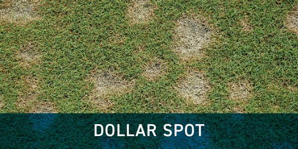 dollar_spot_grass_disease_schill