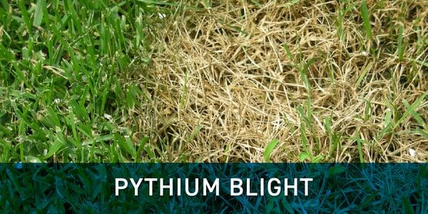 grass_disease_pythium_blight_schill