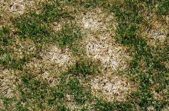 pink snow mold is a common turf disease