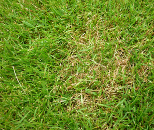 red thread is a common lawn disease