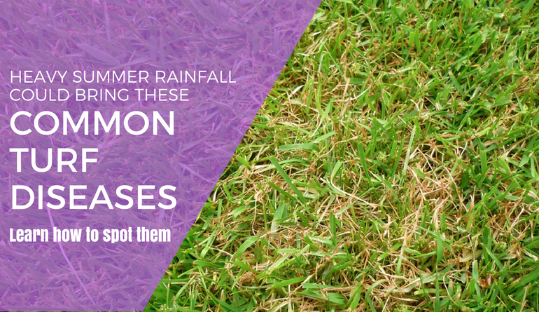 heavy summer rainfall could bring these turf diseases
